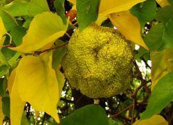 Адамово яблоко – применение в народной медицине