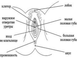 Anatomija ženskih reproduktivnih organa