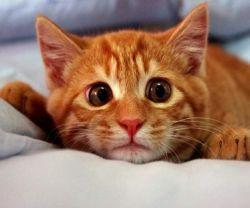 аскариды у кошек лечение