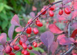 берберис atropurpurea засаждане и грижи