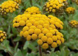 Helichrysum лечебни свойства и противопоказания