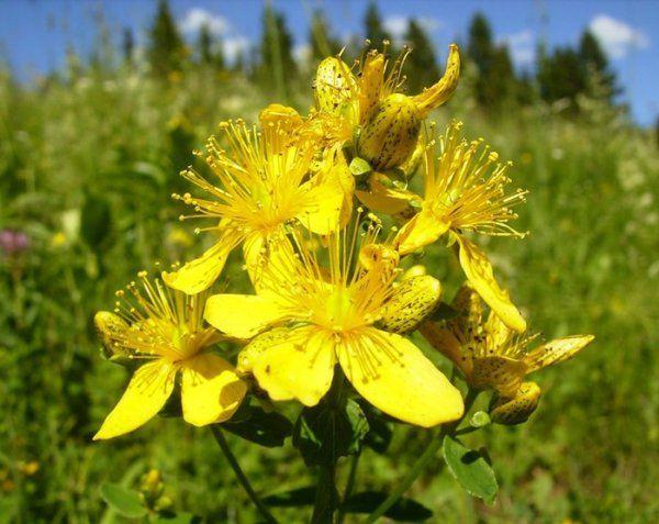 Това цвете е много полезен за човешкия организъм