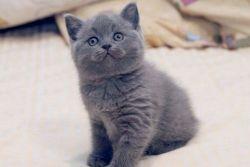 Чем кормить британских котят