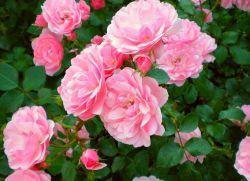 Как да оплоди рози през есента