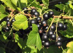 касис за подаване на тъканта и цариградско грозде през есента