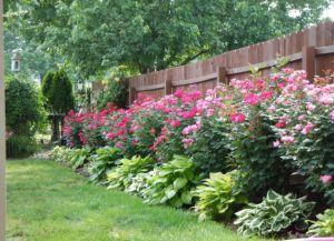 че растението заедно оградата 3