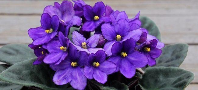 Цветы для домашнего благополучия – приметы