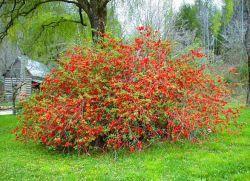 декоративни храсти за градината