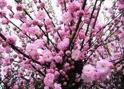 бадем декоративен храст засаждане и грижи