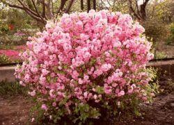 бадем храст засаждане и грижи в градината