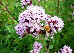 лекарственные травы душица лечебные свойства