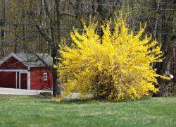 форзиция размножение черенками весной
