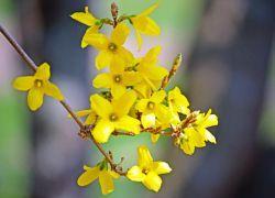 размножение форзиции весной