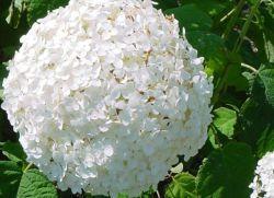 почему не цветет гортензия древовидная
