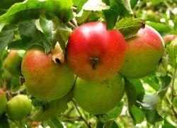 Яблоко – полезные свойства