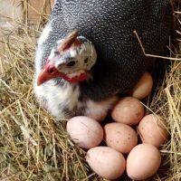 Яйца цесарки - польза и вред