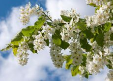 К чему цветет черемуха?