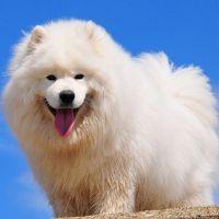 К чему снится белая собака?