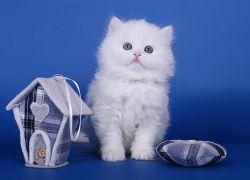 К чему снится белый котенок?