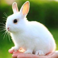 К чему снится белый кролик?