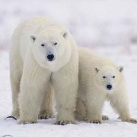 К чему снится белый медведь?