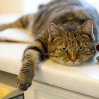 К чему снится беременная кошка?