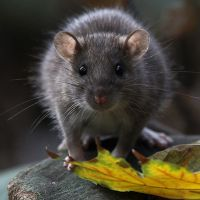 К чему снится большая крыса?