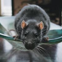 К чему снится черная крыса?