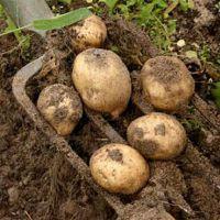 К чему снится копать картошку?