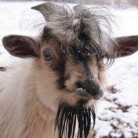 К чему снится козел?