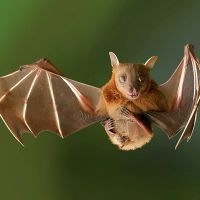 К чему снится летучая мышь?