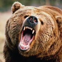 к чему снится медведь девушке