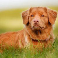 К чему снится рыжая собака?