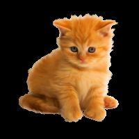 К чему снится рыжий котенок?