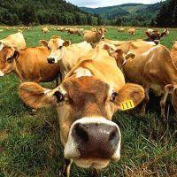 К чему снится стадо коров?