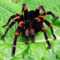 К чему снится тарантул?