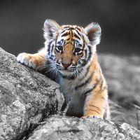к чему снится тигренок добрый