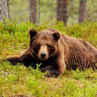 К чему снятся бурые медведи?