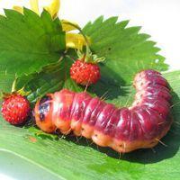 К чему снятся гусеницы?