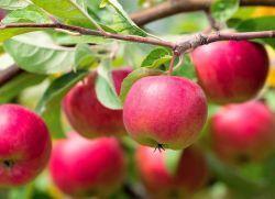 К чему снятся яблоки на деревьях?