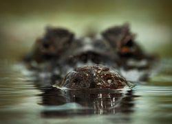 К чему снятся крокодилы в воде?