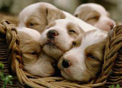 К чему снятся маленькие щенки?