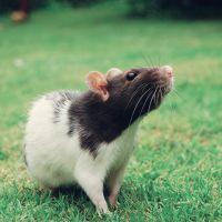 К чему снятся мертвые крысы?