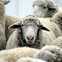 К чему снятся овцы?