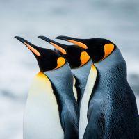 К чему снятся пингвины?