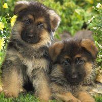 К чему снятся щенки собаки?