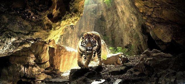 К чему снятся тигры женщине?