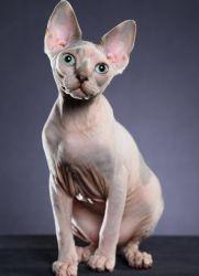 Как вызвать египетского кота?