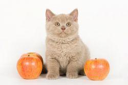 чем кормить шотладского котенка