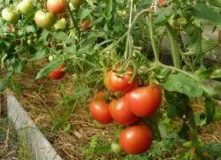 когато трябва да се обработи доматите от края на бич